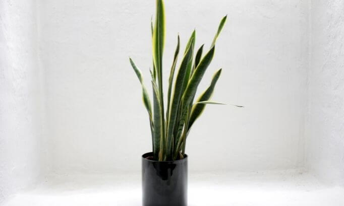 Snake Plants at home